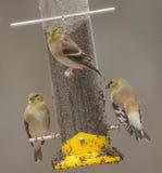 Pintassilgos americanos que alimentam na chuva Foto de Stock
