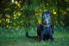 Pintcher noir et bronzage de dobermann étendant l'extérieur photo stock