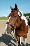 Pinte el caballo Fotografía de archivo libre de regalías