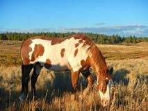 Pinte el caballo capón que pasta Imagen de archivo