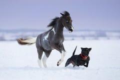 Pinte el caballo miniatura que juega con un perro en campo de nieve Imágenes de archivo libres de regalías