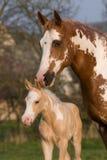 Pinte a égua do cavalo com potro Imagem de Stock