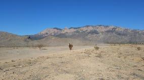 Pinte los funcionamientos del caballo en la montaña Imagen de archivo libre de regalías