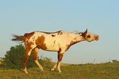 Pinte o cavalo com uma face engraçada Fotografia de Stock Royalty Free