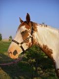 Pinte o retrato do cavalo Fotos de Stock