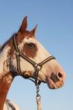 Pinte o retrato do cavalo Fotografia de Stock Royalty Free