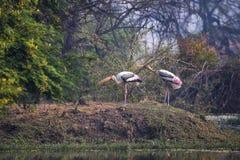 Pinted  storks Mycteria leucocephala in Keoladeo Ghana Nationa Stock Image
