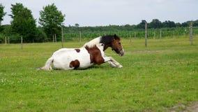 Pinto άλογο στο αγρόκτημα απόθεμα βίντεο