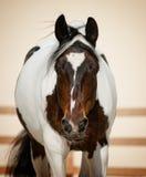 Pinto άλογο Στοκ φωτογραφία με δικαίωμα ελεύθερης χρήσης