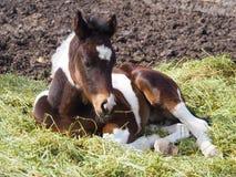 Pinto πουλάρι ή άλογο μωρών στο αγρόκτημα σε Αλμπέρτα Στοκ Εικόνες