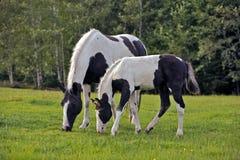 Pinto φοράδα και Foal Στοκ Φωτογραφία