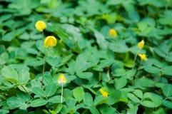 Pinto φυστίκι (Arachis pintoi) στον κήπο Στοκ φωτογραφία με δικαίωμα ελεύθερης χρήσης