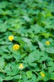 Pinto φυστίκι (Arachis pintoi) στον κήπο Στοκ φωτογραφίες με δικαίωμα ελεύθερης χρήσης