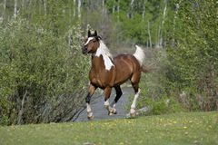 Pinto Arabian galloping Royalty Free Stock Photos