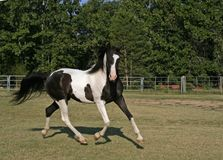 Pinto Arabian Gelding. Trotting in arena Royalty Free Stock Images