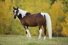 Pinto Arabian Gelding que está no pasto, olhando Fotos de Stock Royalty Free