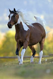 Pinto Arabian Horse stockfotos