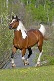Pinto Arabian Horse galoppera royaltyfri fotografi