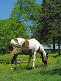 Pinto Arabian Mare. Grazing on hill Stock Images