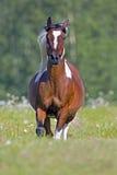 Pinto Arabian que corre libremente Foto de archivo libre de regalías