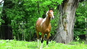 Pinto Arabian que galopa no prado vídeos de arquivo