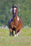 Pinto Arabian running free Royalty Free Stock Photo