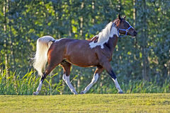Pinto Arabian trotting Royalty Free Stock Images