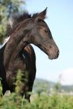 Pinto Barock foal στο pasturage Στοκ Φωτογραφίες
