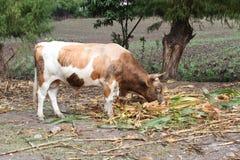 Pinto Bull i Peru Royaltyfri Fotografi