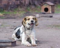 Pinto Chain Dog Smiles Against ett bås royaltyfria foton