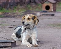 Pinto Chain Dog Smiles Against ett bås royaltyfri bild