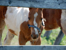 Pinto Foal Royalty Free Stock Photography