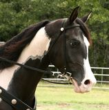 Pinto Gelding. Pinto half-arabian gelding Royalty Free Stock Photos
