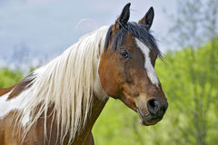 Pinto Gelding. Curious Pinto Gelding at pasture, portrait closeup Royalty Free Stock Photos