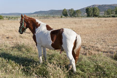 Pinto horse. In an agrarian landscape in Ciudad Real Province, Spain Stock Photography