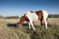Pinto horse. In an agrarian landscape in Ciudad Real Province, Spain Stock Images