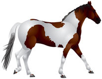 Pinto Horse Arkivfoto