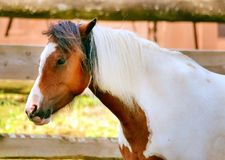 Pinto Horse Fotografia Stock