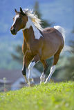 Pinto Horse stockfotos