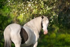 Pinto horse in blossom royalty free stock photos