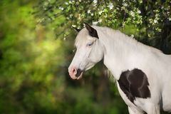 Pinto horse in blossom Royalty Free Stock Image