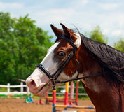 Pinto horse with blue eyes and black mane. Portrait of a pinto horse with blue eyes and black mane against the background of the competition field. Head in a Royalty Free Stock Photos
