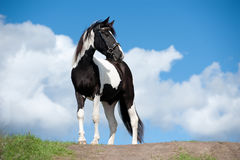 Pinto horse with blue sky background behind. The pinto horse with blue sky background behind Stock Photos