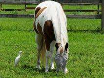 Pinto Horse (Equusferuscaballus) Royaltyfri Fotografi