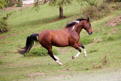 Pinto horse gallop powerful free in meadow