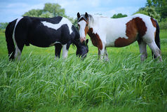 Pinto Horse Grazing Stock Image