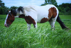 Pinto horse grazing Royalty Free Stock Images