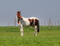 Pinto Horse Grazing in Rural England Royalty Free Stock Images