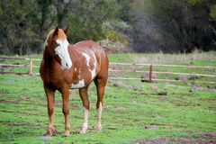 Free Pinto Horse In The Field Royalty Free Stock Photo - 82547405