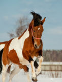 Pinto horse Royalty Free Stock Photo